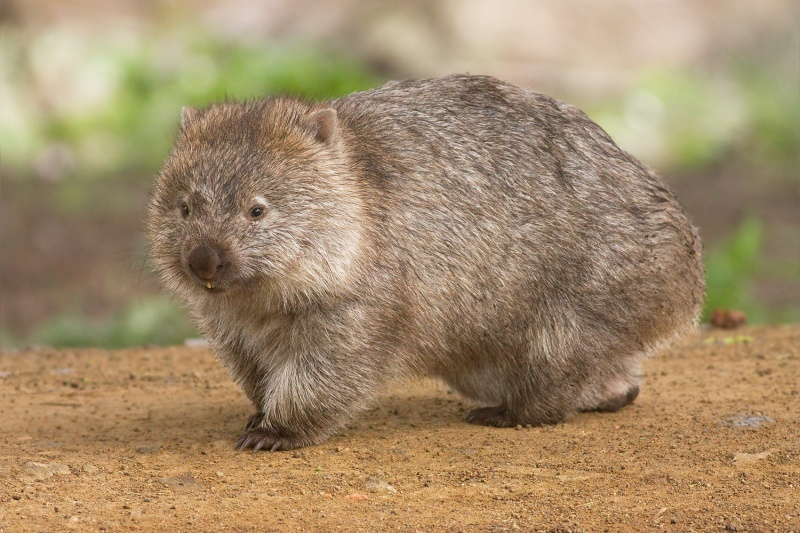 Wombat-15 Super Cool Animals That You May Find Only In Australia