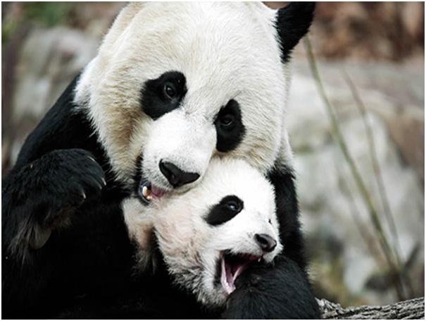 Panda Ovulation-Amazing Facts About Pandas