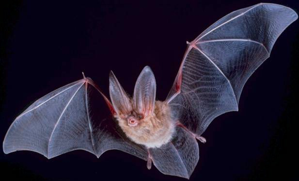 Bat-Flying Animals Which Are Not Birds