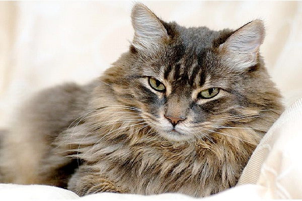 Cat - Introvert, Sensing, Thinking, Perceiving (ISTP)-Know What Animal You Are Through Personality Test