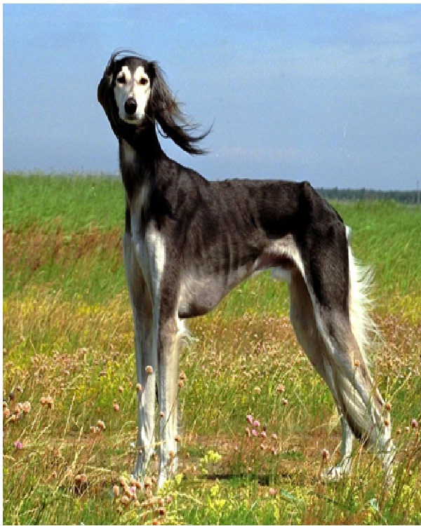Saluki ($2,500)-Most Expensive Dogs In The World