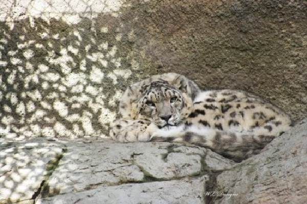 Snow Leopard-Amazing Camouflage Animals