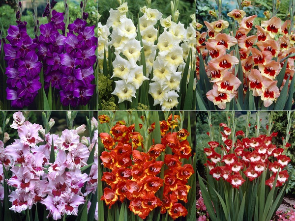 Gladioli-Most Beautiful Flowers In The World