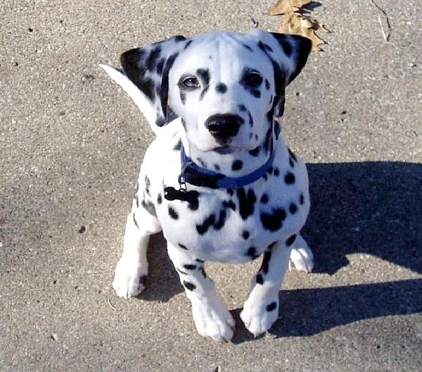 Dalmation-Most Aggressive Dog Breeds