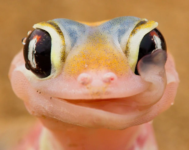Gecko-Best Animals For Pets