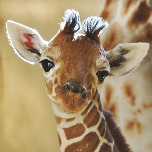 Giraffe-Weird Facts About Animals