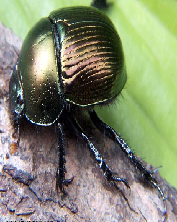 Dung Beetle-Edible Insects