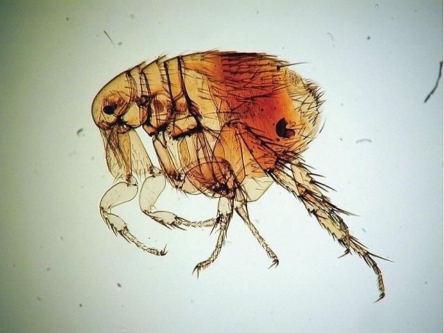 Rat fleas-Most Dangerous Insects