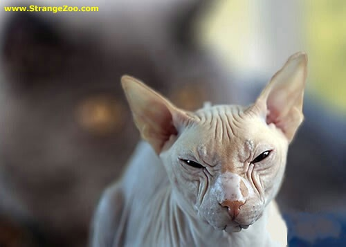 Don't Challenge Me-Ugliest Cats Ever