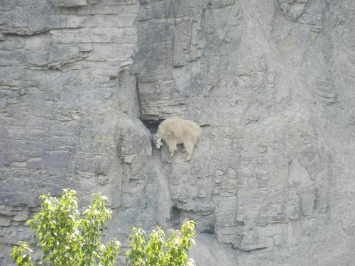 My head is stuck-Photos Of Goats On Cliffs