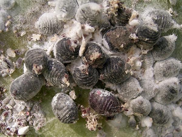 Cochineal Beetles-Disgusting Common Ingredients In Cosmetics