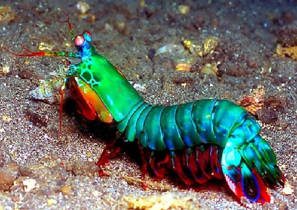 Mantis Shrimp-Most Beautiful Fishes