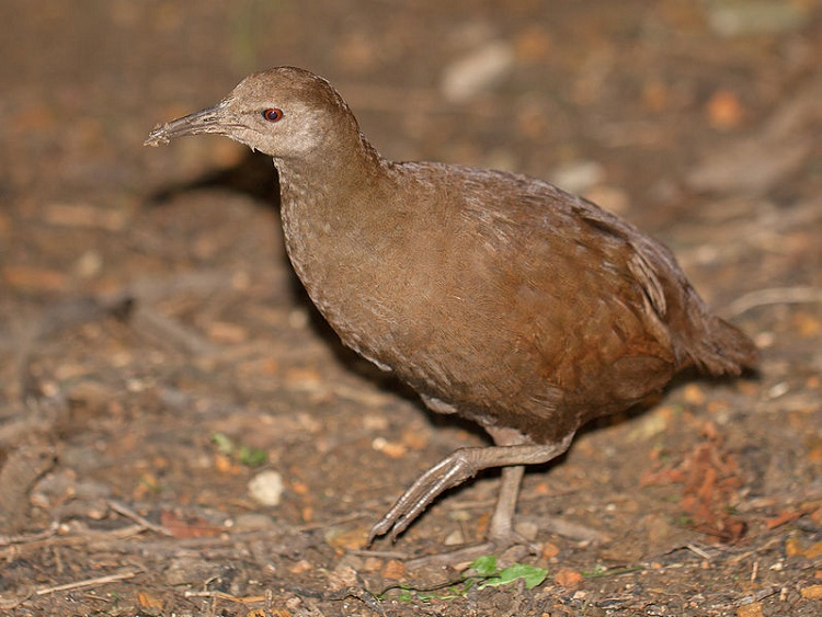New Caledonian Rail-Birds Which Cannot Fly