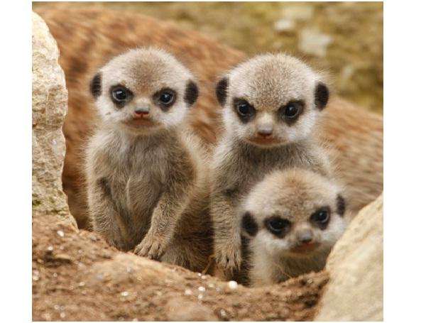 Baby Meerkat-Cutest Animals Ever