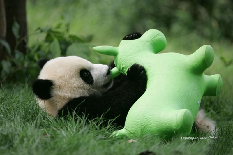 I Will Play with My Toy-15 Images That Show, You Must Visit A Baby Panda Daycare Once