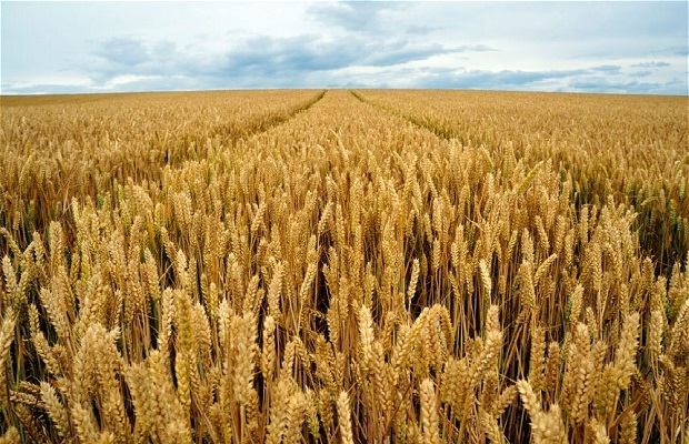 Wheat-Foods That Are Going Extinct Thanks To Climate Change