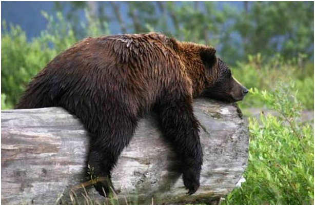 That Bear Is Sleeping..leave Him Alone-Most Bizarre Laws