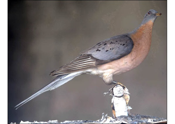 Passenger Pigeon-Extinct Animals That Science Could Bring Back From The Dead