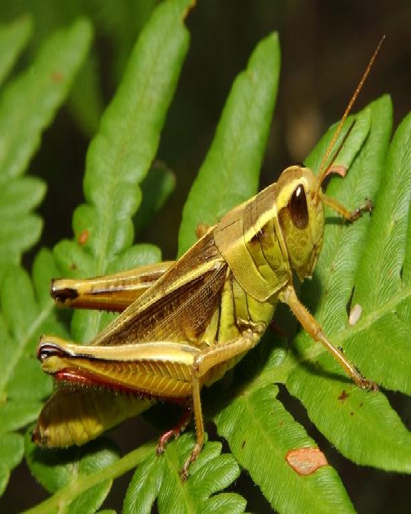 Grasshopper-Edible Insects