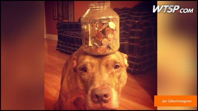 Clever Boy-Patient Dog Named Scout Who Can Balance Anything On His Head