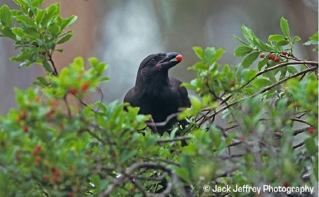 Hawaiian Crow-Recently Extinct Animals