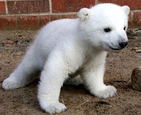 Polar Bear-Adorable Baby Animals