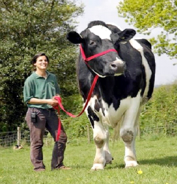 Chilli The Big Cow-World's Biggest Pets