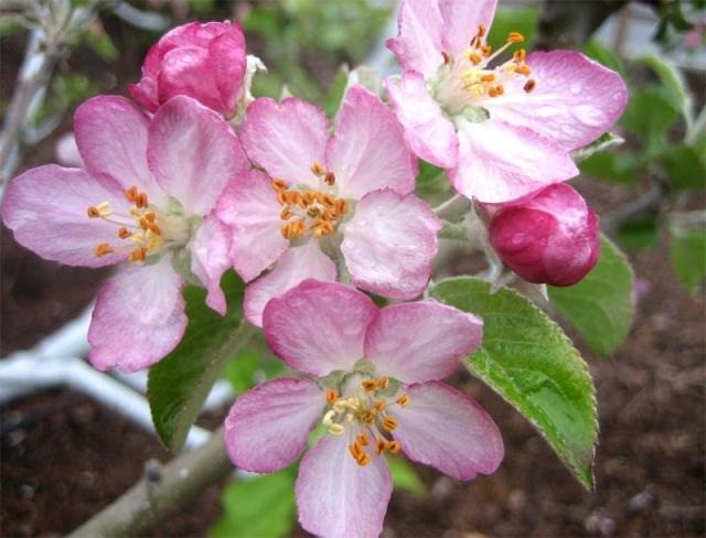 Apple Blossom-Most Beautiful Flowers In The World