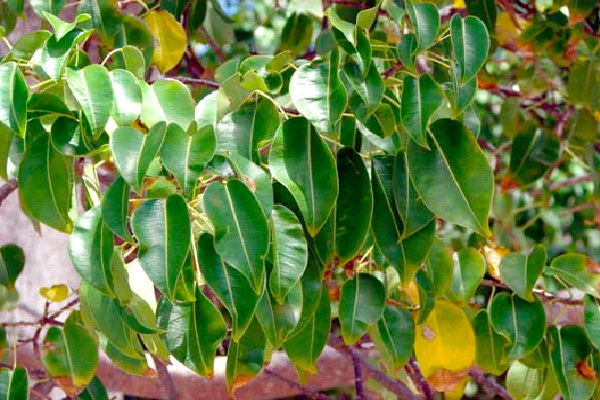Manchineel-Common But Deadly Plants