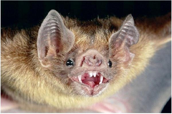 Blind Bats-Most Popular Myths Debunked