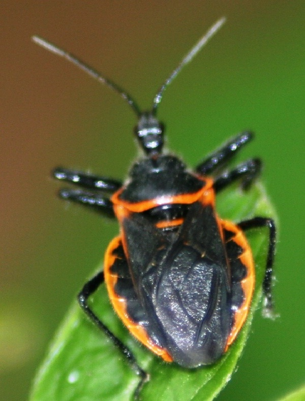 Assassin Bugs-Deadliest Insects
