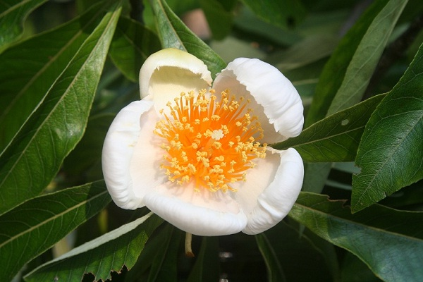 Franklin Tree-Extremely Rare Flowers