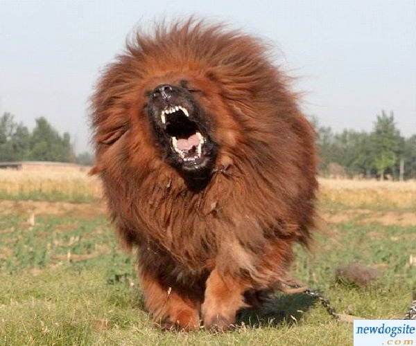 Dog - Red Tibetan Mastiff $1.5 mill-Most Expensive Things In The World