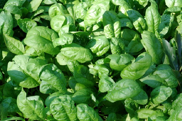 Spinach-Best Muscle Building Food