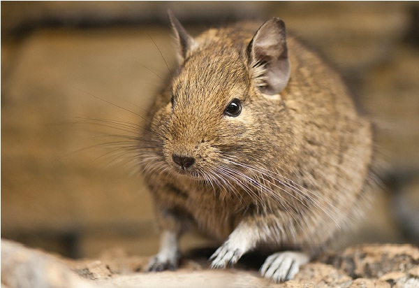 Degu-Unusual Pets That Are Legal To Own