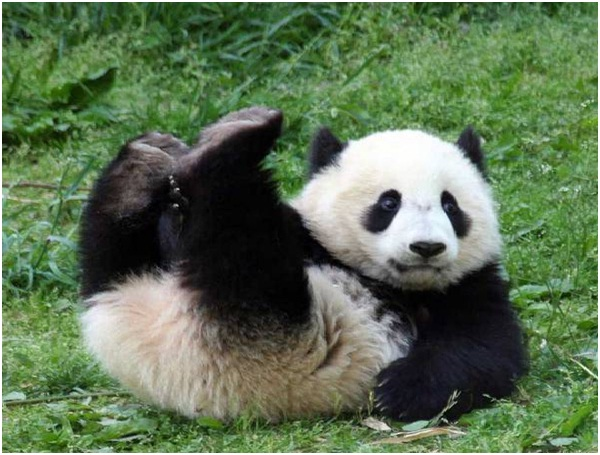 Meaning of the name Panda-Amazing Facts About Pandas