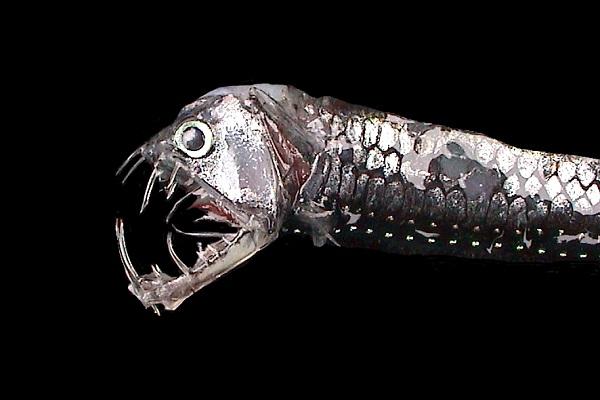Viperfish-Horrible Deep Sea Creatures