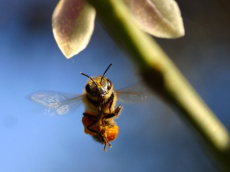 Bees-Flying Animals Which Are Not Birds