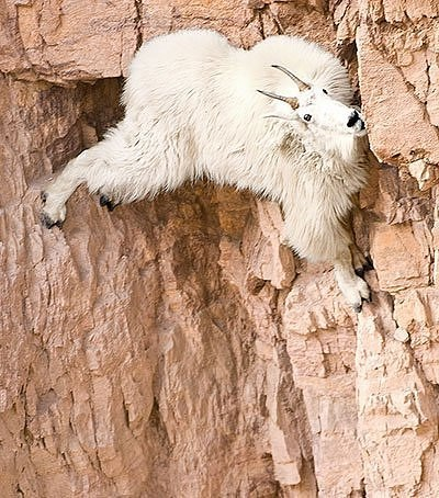 Spidergoat-Photos Of Goats On Cliffs