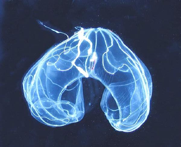 Ctenophore Bathocyroe-Amazing Bioluminescent Organisms