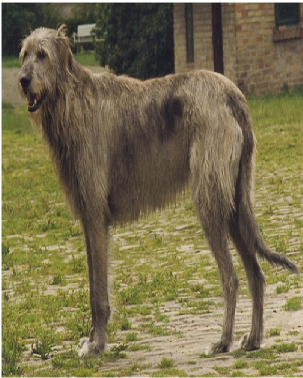 Irish Wolfhound ($1,500 to $2,000)-Most Expensive Dogs In The World