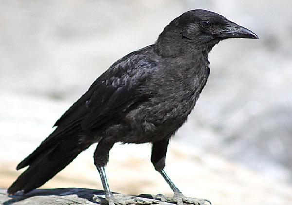 Crow-Most Aggressive Birds