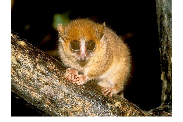 Pygmy Mouse Lemur-World's Smallest Animals