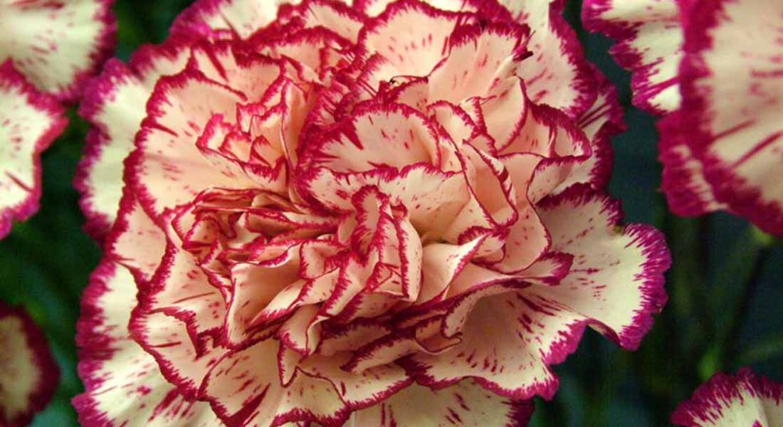 12 Most Beautiful Flowers In The World