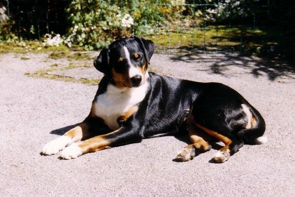 The Appenzeller Sennenhund-Rare Dog Breeds