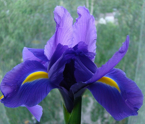 Iris-Most Beautiful Flowers In The World