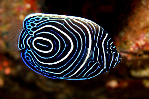 Juvenile Emperor Anglefish-Most Beautiful Fishes