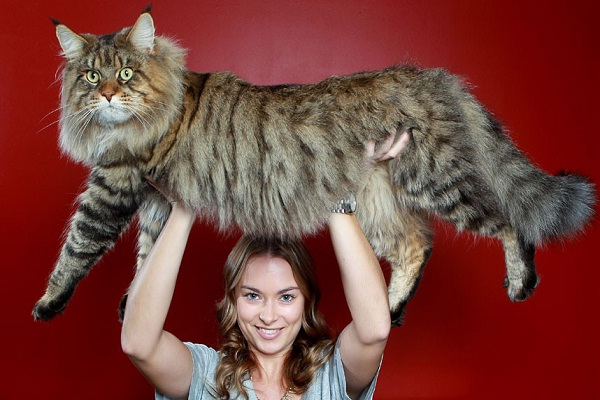 The Maine Coon-Unusual Cat Breeds