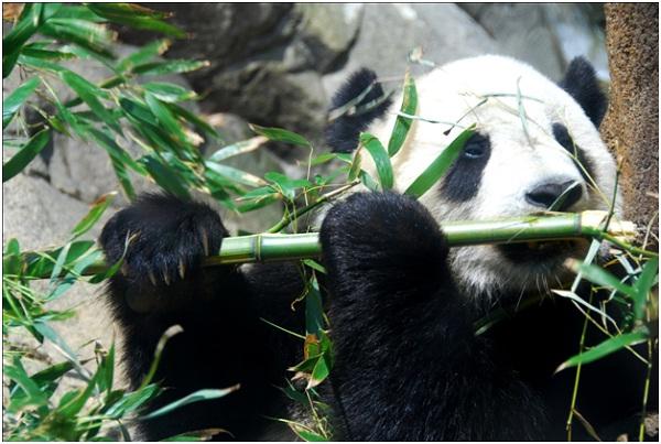 Pandas Eating Bamboo-Amazing Facts About Pandas
