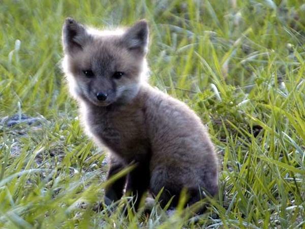 Fox-Adorable Baby Animals